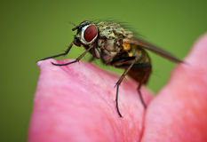 Fly. A fly on a pink flower Stock Image