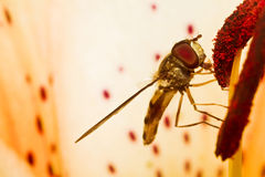 A Fly Royalty Free Stock Image