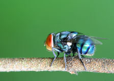 Fly. A wild fly at rest Royalty Free Stock Photo