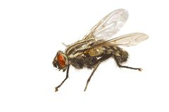 Fly. An extreme macro photo of a typical house fly Royalty Free Stock Image