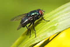 The Fly. Macro shot os a greenbottle fly at rest Stock Photo