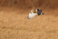 Fly by. Short-eared owl, hunting the long grass Royalty Free Stock Photo