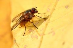 Fly. A closeup photo of a fly on a autumn leaf Stock Photo