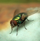Fly......(3). Here is a fly with big eyes Stock Photography