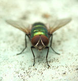 Fly......(4). Here is a fly with big eyes Stock Photos