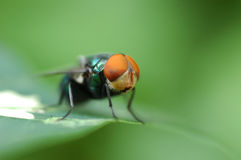 The Fly. Macro shot of a green fly - intentional selective focusing/  shallow DOF Royalty Free Stock Image