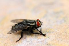 The Fly Stock Images