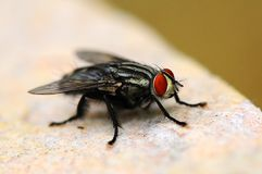 The Fly. True flies are insects of the Order Diptera (Greek: di = two, and pteron = wing), possessing a single pair of wings on the mesothorax and a pair of Royalty Free Stock Photography