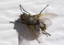 Fly. A fly on white siding stock photo