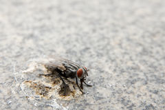 Fly. Nasty fly eating on bird droppings Royalty Free Stock Photography
