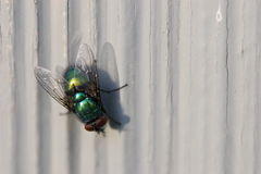 Fly. House Fly royalty free stock image