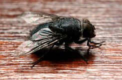 The fly. Close-up macro shot of a dirty litle housefly, very detailed royalty free stock images