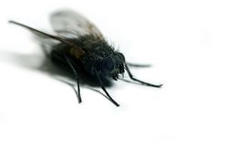 The fly. Detailed housefly isolated on white background royalty free stock photos