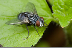 A fly Royalty Free Stock Photography