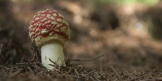 Fly agaric 1 Royalty Free Stock Photography