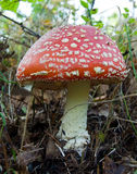 Fly-agaric Stock Image