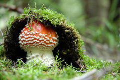 Fly-agaric. Young fly amanita in forest Stock Images