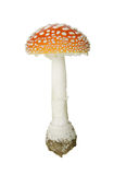 Fly agaric. Isolated on white royalty free stock image