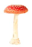 Fly agaric. One fly agaric isolated on white background royalty free stock images