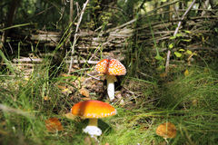 Fly agaric Stock Photo
