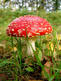 Fly-agaric Stock Photography