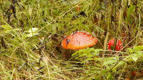 Fly agaric. Collection mushrooms in autumn forest stock footage