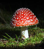Fly agaric. Young fly agaric fruit body stock photos