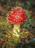 Fly agaric or amanita, amanita muscaria Royalty Free Stock Images