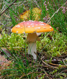 Fly Agaric Amanita muscaria Stock Photo