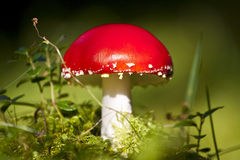 Fly Agaric (Amanita muscaria) Royalty Free Stock Images