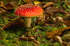 Fly agaric, Amanita muscaria Stock Photos