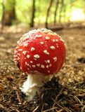 Fly Agaric Amanita muscaria mushroom Stock Images