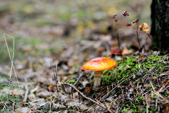 Fly Agaric Amanita muscaria poisonous mushroom Royalty Free Stock Photos