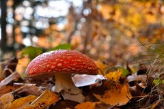 Fly Agaric Amanita muscaria, poisonous toadstool from Forests. Fly Agaric Amanita muscaria, poisonous Mushroom from Forests, in late Autumn stock images