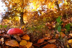 Fly Agaric Amanita muscaria, poisonous toadstool from Forests. Fly Agaric Amanita muscaria, poisonous Mushroom from Forests, in late Autumn stock photo