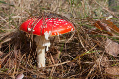 Fly agaric in autumn forest Royalty Free Stock Photo