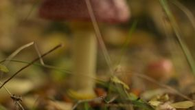 Fly agaric in autumn forest. Toxic mushroom among fall leaves. Slider shot, closeup stock video footage