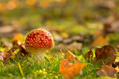 Fly agaric between autumn leaves Royalty Free Stock Image