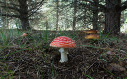 Fly Agaric and Boletus mushrooms in Pine Stock Image