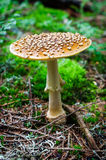 Fly agaric close-up Royalty Free Stock Photography