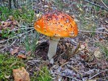 Fly agaric, danger nonedible mushroom, seasonable,. Fly agaric, danger nonedible mushroom with red hat and white spots, seasonable environment details Stock Photo