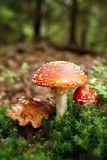 Fly agaric Stock Image