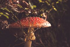 Fly agaric. In a forest Stock Photo