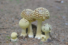Fly agaric or fly amanita, Amanita muscaria. Mushroom fly agaric or fly amanita, Amanita muscaria Stock Photos