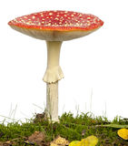 Fly agaric or fly Amanita mushroom Stock Image