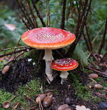 Fly Agaric or Fly Amanita mushroom (Amanita Muscaria) stock images
