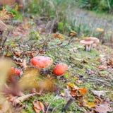 Fly agaric or fly Amanita mushroom, Amanita muscaria Royalty Free Stock Images