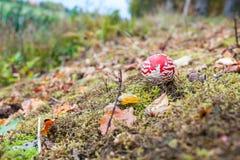 Fly agaric or fly Amanita mushroom, Amanita muscaria Royalty Free Stock Photography