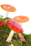 Fly agaric or fly Amanita mushroom Royalty Free Stock Images