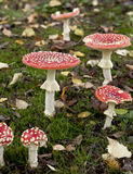 Fly agaric or fly Amanita mushrooms Stock Photos